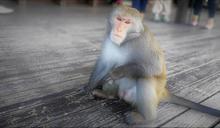 【應對人猴衝突】有多少人做多少事 尋訪事實、留下紀錄是重點