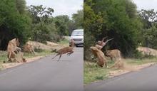【影片】意外直擊!為逃生闖進獅群中 小鹿慘被秒分屍