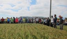 水稻台中192品種田間觀摩會 80位農民仔細觀摩米質