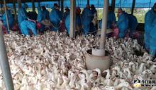早晚溫差變化劇烈 籲養禽業慎防禽流感疫情再犯