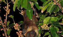 紅皮書公布 狐蝠、金龜列極危動物