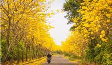 【Yahoo論壇/蔡里長】三月瘋黃花,前人的暖心成就今日的美景