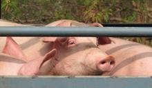 不透明的豬隻屠宰 看不見的動物受苦:從香港的非洲豬瘟談起