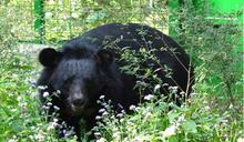 爬樹、撿大便樣樣來,「聞屎」工作者解開臺灣黑熊迷思