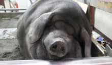 【傳統 v.人道】養神豬會違反動物保護法嗎?