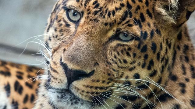 Ein China-Leoparden-Männchen in einem Zoo.