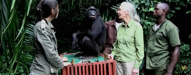Chimp's touching farewell to rescuers