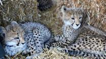 A visit with baby cheetahs in South Africa